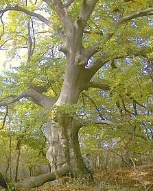 oude bomen Mecsek