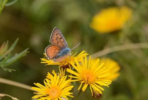 bükk nationalpark ungarn Violette Feuerfalter 02